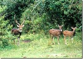 Deers at their Natural Habitat